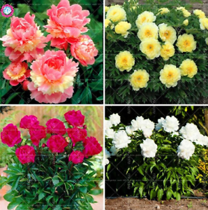 10 PCS Seeds /'Walter Mains/' Tree Peony Flowers Mix Color Paeonia Suffruticosa X