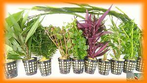 PLANTA-PARA-ACUARIO-LOTE-DE-10-PLANTAS-OFERTA-envio-gratis