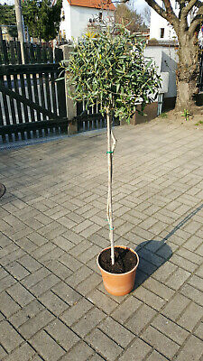 Olea europaea 90-100 cm Stamm Olivenbaum 140cm