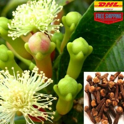 Ceylon High Quality Live Planting Clove seeds Organic Syzygium aromaticum