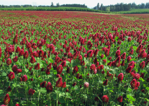 Crimson Clover Seed 50 Lbs Bag 2.5 ACRES Coverage