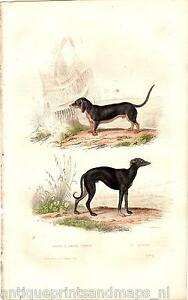 Antique hc print dog dogs Basset Hound Sighthound gazehound windhond buffon 1856 - Malden, Nederland - Basset a Jambes Torses / Le Levrier. Antique hand colored print. From oeuvres completes de Buffon.Date: 1853. Size leaf: ca.: 16 25,5 cm. Size picture :. 10 15 cm. Good paper,blank verso. Priority shipping worldwide. ConditionPlease ha - Malden, Nederland