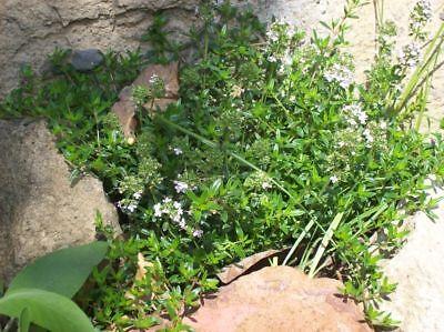 TOMILLO thymus vulgaris 2000 semillas seeds semi graine