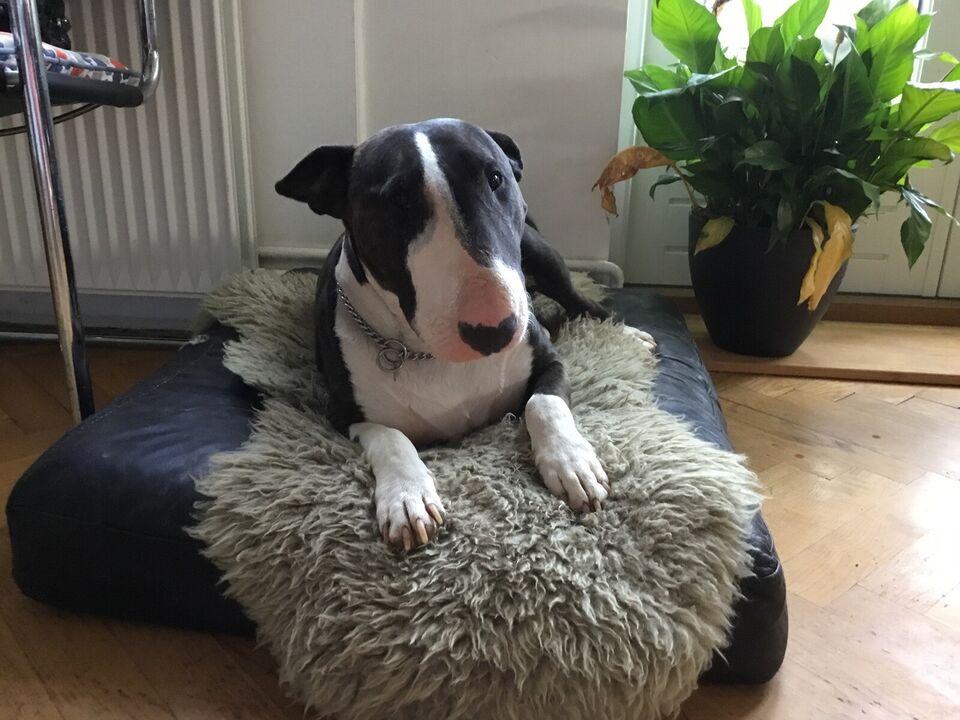 Vores dejlige engelske Bull terrier hun søger...