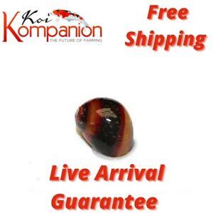 Assorted Red Racer Nerite Snails Algae Eaters Koi Kompanion Free Shipping