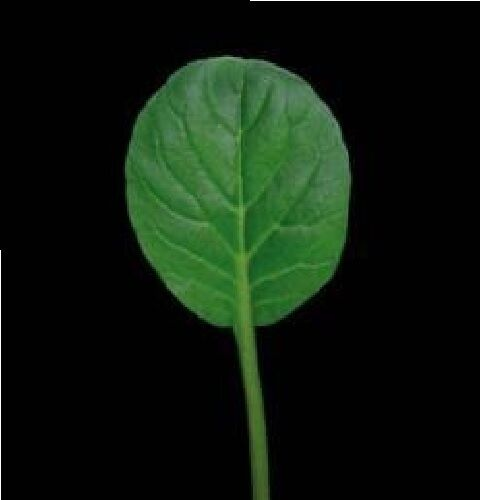 4000 Seed Large Vegetable Pak Choi Green