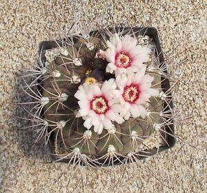 100 Gymnocalycium Pflanzii P209 Graines Seeds Korn De Cactus Aucun Ariocarpus Lazdh9ra-10041628-712589197