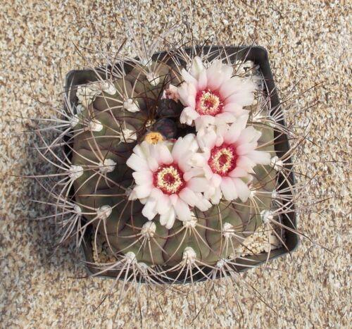 100 GYMNOCALYCIUM pflanzii P209 semi seeds KORN semi cactus no ariocarpus