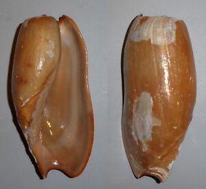 Coquillage-de-collection-Cymbium-cucumis-148-mm