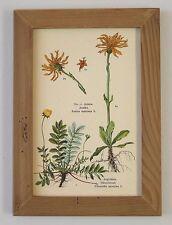 Heil planta hierbas medicinales Arnica & margaritas nemorþi büttenfaksimile 5 en el marco