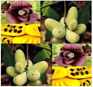 BULK-Asimina-triloba-the-pawpaw-paw-paw-paw-paw-TREE-SELECT-FRESH-SEEDS-A