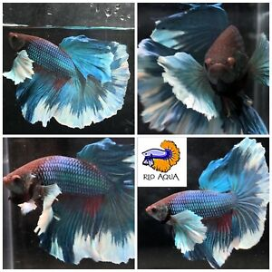 Peacock Blue Halfmoon Dumbo Male Betta