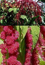 Amaranth hopi red lockt Vögel & Schmetterlinge schnellwüchsige Blühpflanze Samen