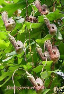 Aristolochia macroura VERY RARE PIPEVINE 15 seeds
