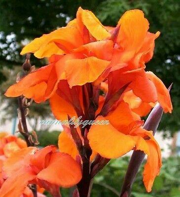 Canna Wyoming Orange flowering Bronze foliage 1 bulb Canna lily flower tuber