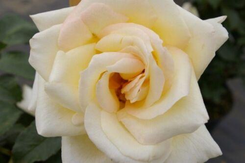Rosa Schneewalzer reinweiß Tantau-Rose Duft+++ Kletterrose Schneewalzer®
