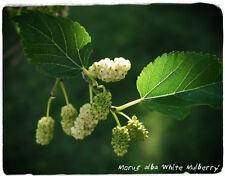 Morus alba 'White Mulberry' 100+ SEEDS