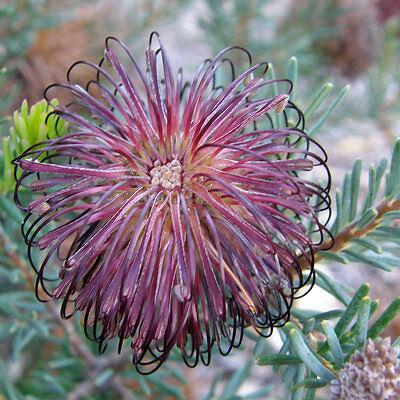Violet Banksia (Banksia Violacea) 10 Fresh Seeds