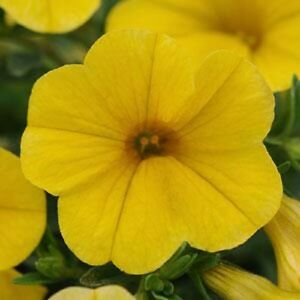 Calibrachoa-Seeds-Kabloom-25-Pelleted-Seeds-Yellow