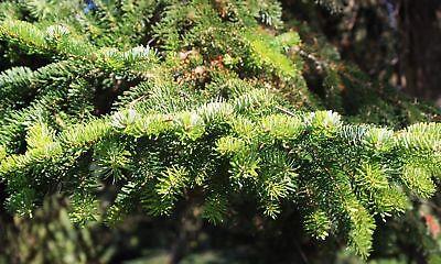 Ausdauernd 100 Samen Abies Nordmanniana Nordmanntanne Zertifizierte Herkunft: Bakuriana