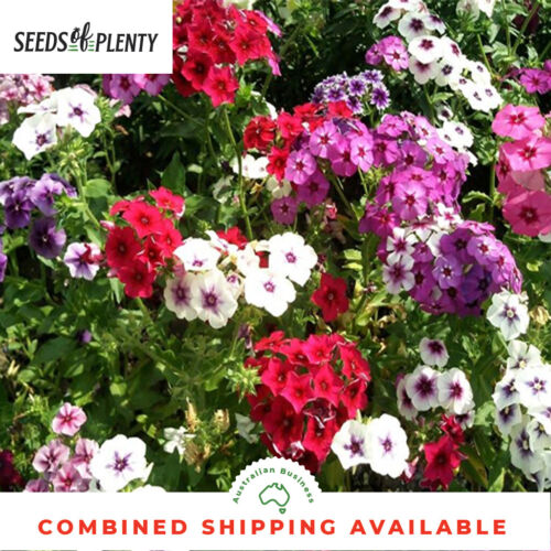 250 Seeds Drummond/'s BULK Containers HEIRLOOM Beds /& Borders PHLOX