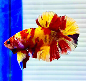 "US SELLER (A-Grade) Male Nemo 2""🔥Giant Betta imported from Thailand"