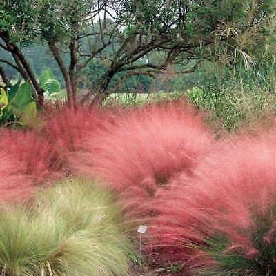 10Pcs Muhlenbergia capillaris plant imported ornamental grass seeds