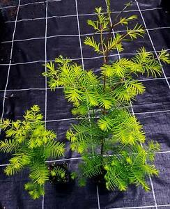 10 x urwelt mammutbaum metasequoia glyptostroboides topf container 70 80 cm ebay. Black Bedroom Furniture Sets. Home Design Ideas