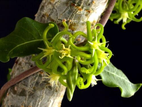 5 Fockea edulis NS03 semi seeds karn caudex succulent semillas
