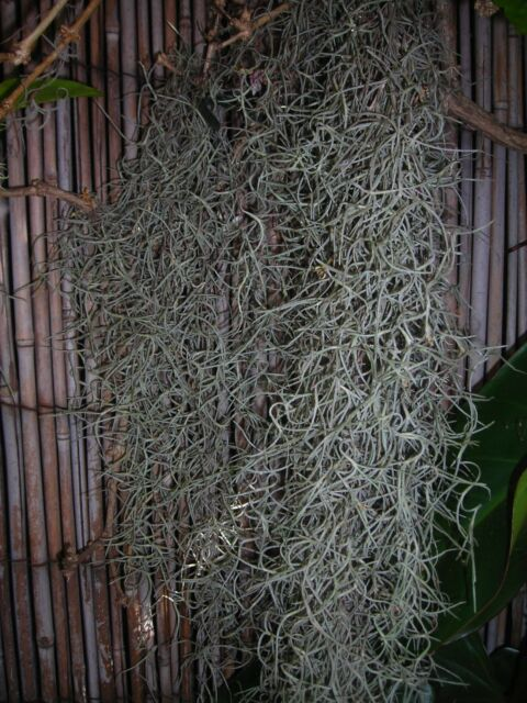 Spanish Tree Moss, Beard Lichen, Hanging Garden plant - pick up Marrickville