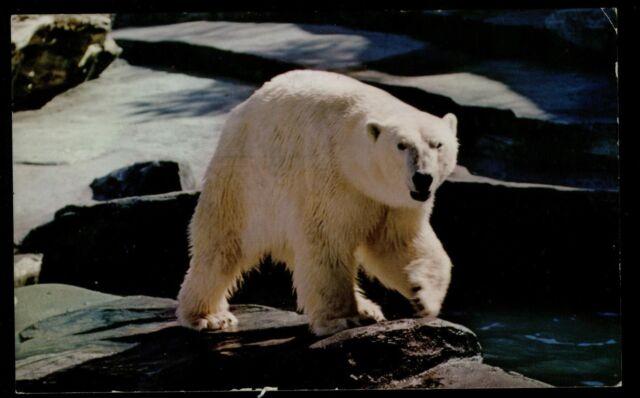 AN ALASKAN POLAR BEAR 1967 VINTAGE CHROME POSTCARD COND: GOOD
