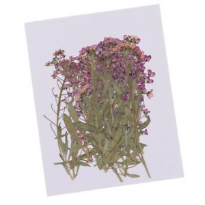 20pcs-Pressed-Alyssum-Real-Dried-Flower-for-DIY-Phone-Case-Decoration-Craft