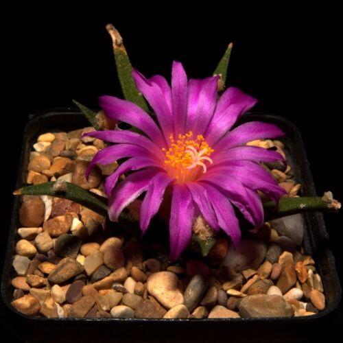 Living Rock Kaktus Frische Samen