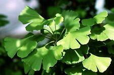 Ginkgo biloba MAIDENHAIR TREE Seeds!