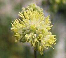 Thalictrum aquilegifolium Nimbus White-Meadow Rue Plant in 10.5cm pot