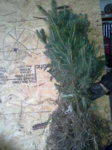 """FAST GROWING NORWAY SPRUCE SEEDLINGS 6""""-10"""" TALL! Ships Spring 2021"""