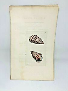 Ribbed-Bulla-Seashell-1783-RARE-SHAW-amp-NODDER-Hand-Colored-Copper-Engraving