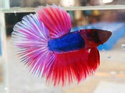 Limited Premium Live Betta Fish L Male Halfmoon Plakat Purple Pink A44 Ebay