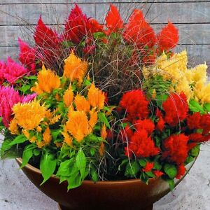 Celosia-Fairy-Fountains-Mix-Seed-4-Colours-Cockscomb-Low-Growing-200-Seeds