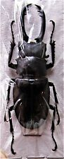 Giraffe Stag-Beetle Prosopocoilus giraffa timorensis 60-65mm Male FAST FROM USA