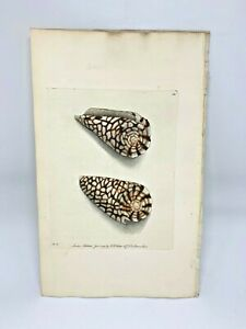 Marbled-Cone-Seashell-1783-RARE-SHAW-amp-NODDER-Hand-Colored-Copper-Engraving