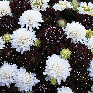 Seeds Gomfrena Mix Flower Annual Outdoor Beautiful Garden Cut Organic Ukraine