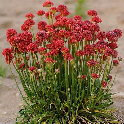 Armeria Maritima Joystick- Red- Drumstick Thrift-Good for cut flowers, Perennial