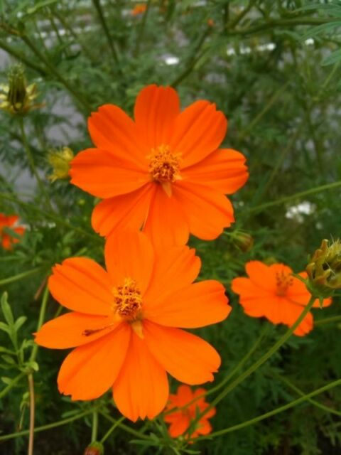 150 ORANGE SULPHUR COSMOS Klondike Sulphureus Seeds + Gift & Comb S/H