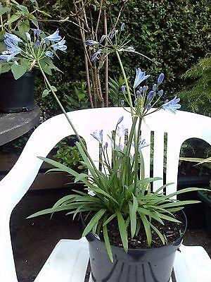 Agapanthus - Umbellatus Blue plant