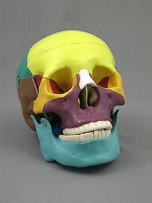 Life-Size Human Skull w/ Colored Bones, Anatomical, Skulls, NEW