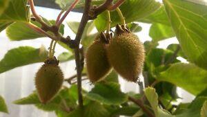 Actinidia-deliciosa-034-Solo-034-selbstfruchtbare-Kiwi-140-160cm-Kiwibaum