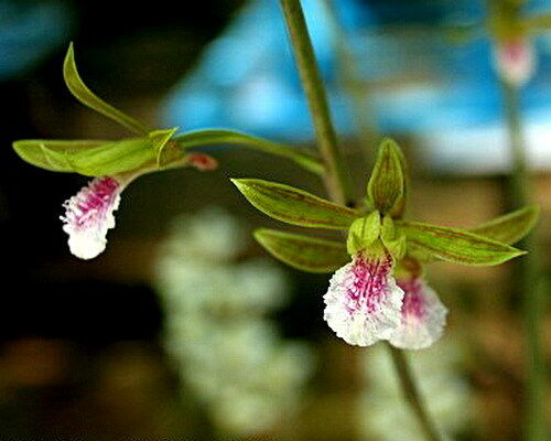 Year 2017 Eulophia graminea Orchid specie seeds