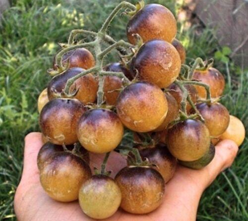 Tomato AMETHYST CREAM CHERRY 20 Seeds  Heirloom Vegetable-Ivory-Blue