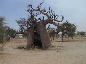 4-Semillas-Baobab-ADANSONIA-DIGITATA-Jardin-Arbol-Raro-Bonsai